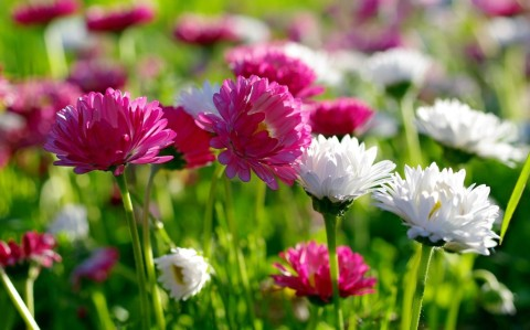 Chrysanthemum-